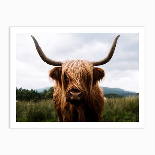 Scottish Highland Cattle 2 Art Print