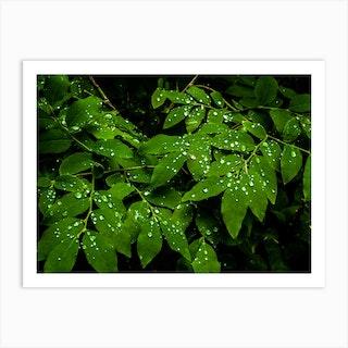 Water Drops On Leaves Art Print