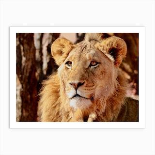 Young Lion Namibia Art Print