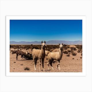 Llamas In The Desert Art Print