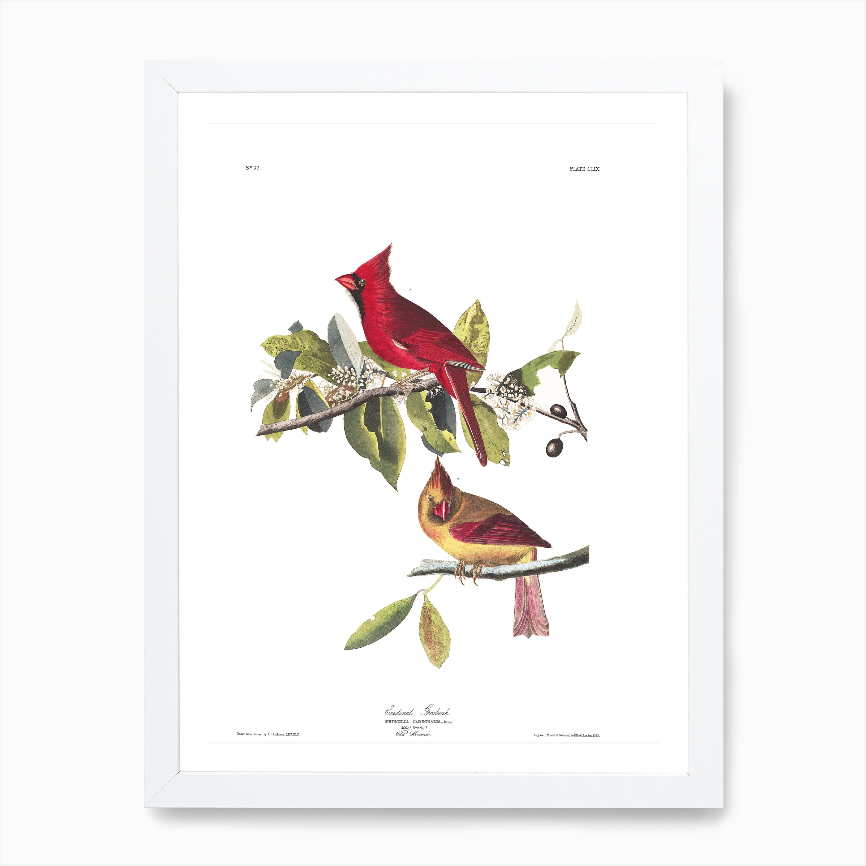Cardinal Grosbeak Art Print By John James Audubon Fy