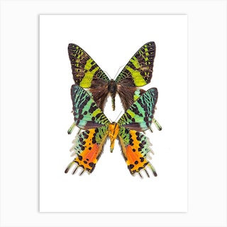 Two Bright Colored Butterflies Art Print