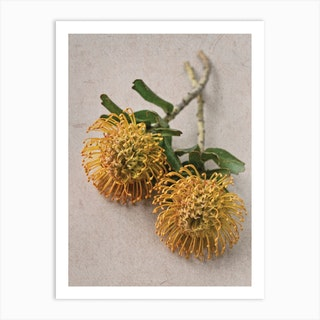 Yellow Pincushion Protea Art Print