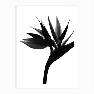 Black Bird Of Paradise 2 Art Print