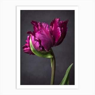 Magenta Parrot Tulip Art Print