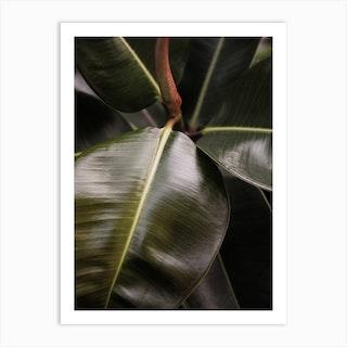Ficus Bubu Art Print