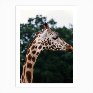 Wild Giraffe Art Print