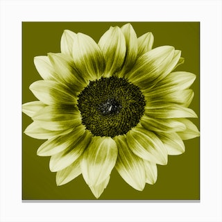 Olive Green Sunflower Square Canvas Print