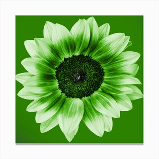 Lime Green Sunflower Square Canvas Print
