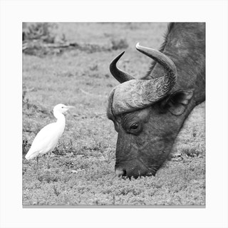 Buffalo And Egret Canvas Print