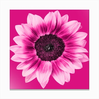Magenta Sunflower Square Canvas Print