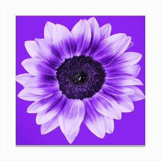 Violet Sunflower Square Canvas Print