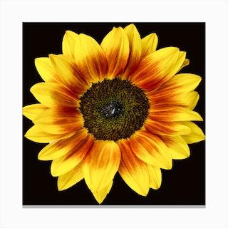 Mahogany Sunflower Square Canvas Print