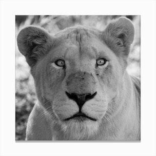 White Lion Female IV Canvas Print