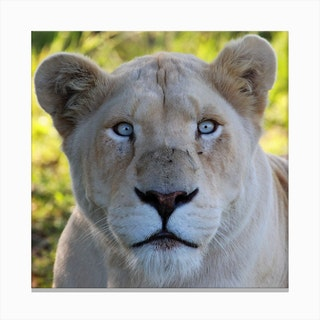 White Lion Female III Canvas Print