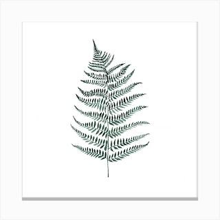 Botanical Illustration   Silverfern Canvas Print