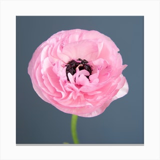 Pink Ranunculus Square Canvas Print