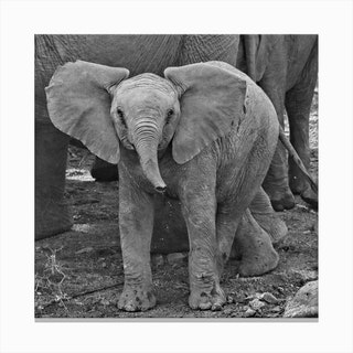 Baby Elephant Square Canvas Print