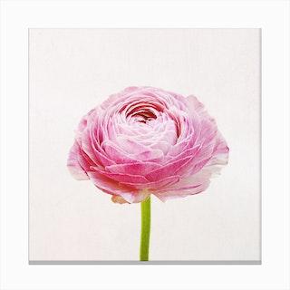 Ranunculus Canvas Print