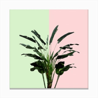Banana Plant on Pink and Green Wall Canvas Print