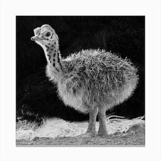 Ostrich Baby II Canvas Print
