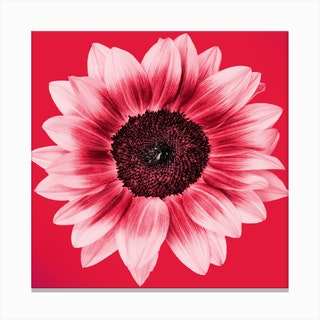 Blood Orange Sunflower Square Canvas Print