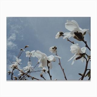 Wind Magnolias Canvas Print