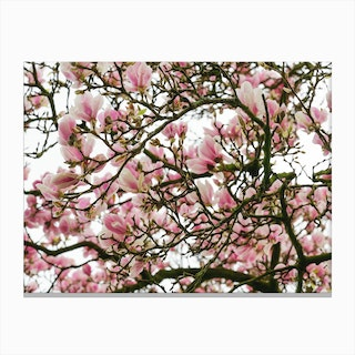 Pink Magnolia Tree Canvas Print