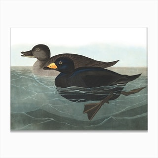 American Scoter Duck Canvas Print