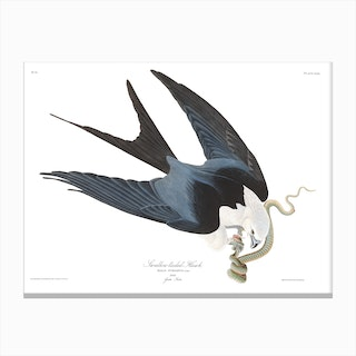 Swallow Tailed Hawk Canvas Print