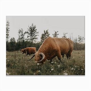 Highland Cows On The Farm Canvas Print