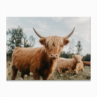 Curious Highland Cow Canvas Print