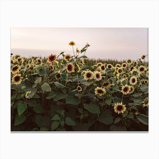 Sunflowers Of Provance Canvas Print