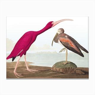 Scarlet Ibis Final Canvas Print