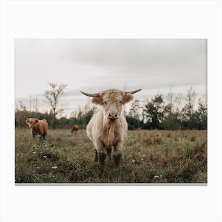 Highland Cows In The Meadow Canvas Print