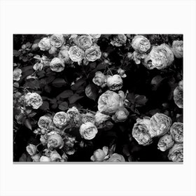 Rose Bush Canvas Print