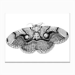 Brahmin Moth Canvas Print
