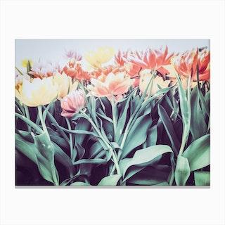 Tulipa Humilis Canvas Print
