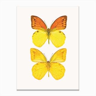 Butterflies VIII Canvas Print