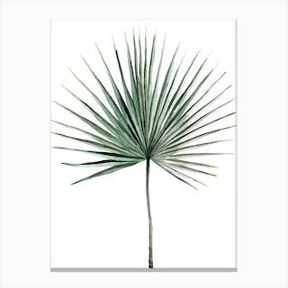 Botanical Illustration   Fan Palm Canvas Print