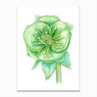 Verde Hellebore Canvas Print