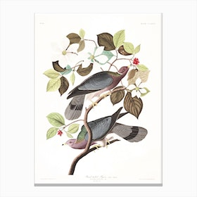 Band Tailed Pigeon Canvas Print