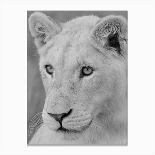 Young White Lion Canvas Print