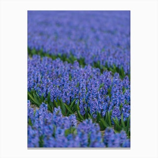 Field of Blue Hyacinths Canvas Print