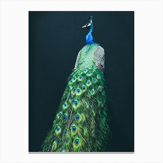 Peacock I Canvas Print