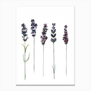 Botanical Illustration   Lavendula Angustifolia Canvas Print