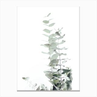 Eucalyptus White II in Canvas Print