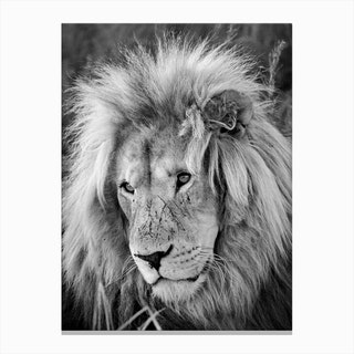 Lion Male Canvas Print
