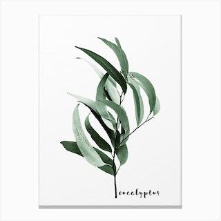 Eucalyptus Australian Gum Tree Canvas Print