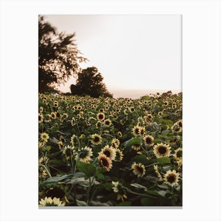 Sunflower Fields Canvas Print